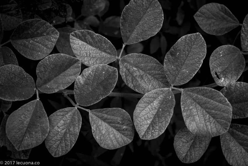 monochrome photography leaves fineart art